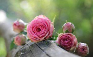 rose-1687884_1920